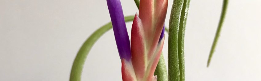 Close up view of the bloom of an airplant in a hand made vase available at The Virginia Farmhouse