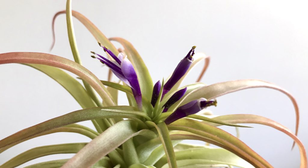 Close up of the pastel purple flowers of a chartreuse green and coral colored air plant available for sale at The Virginia Farmhouse