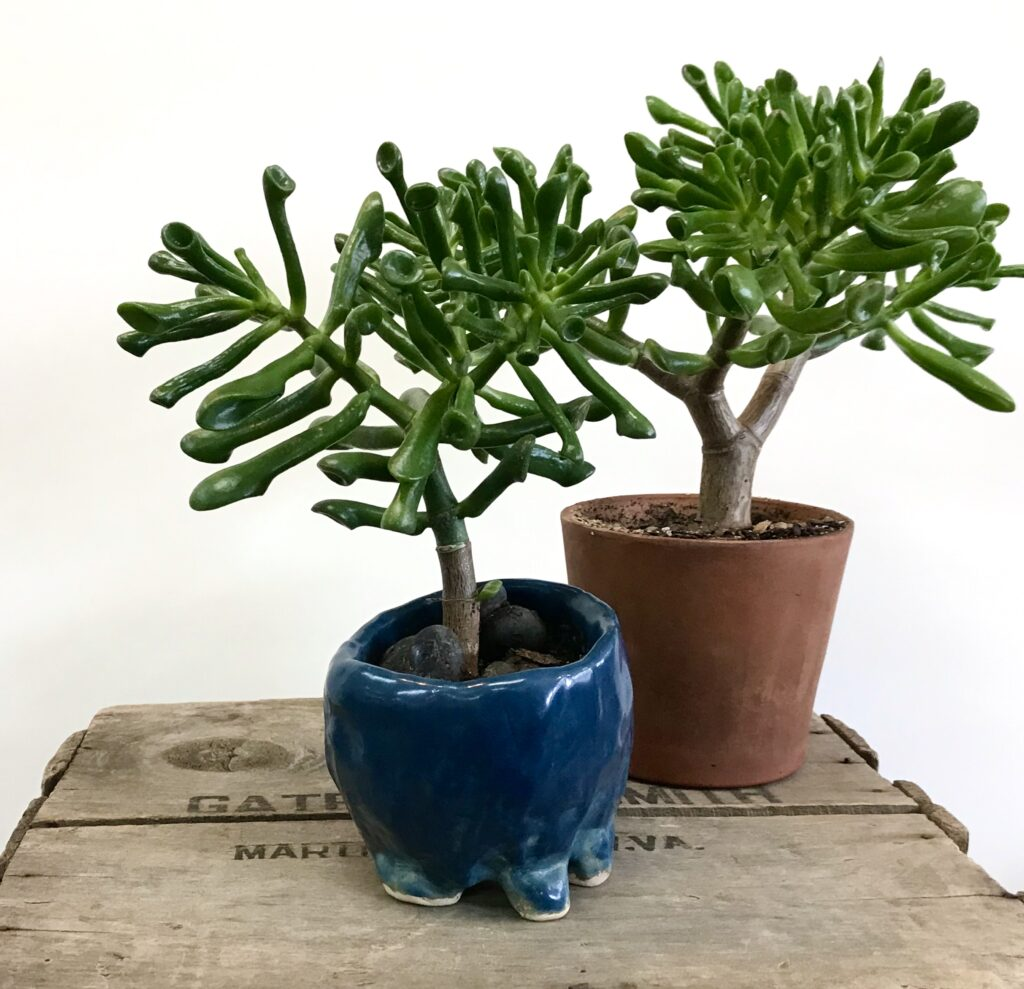 "Two Jade Plant ""Monstera"" available for sale at The Virginia Farmhouse"