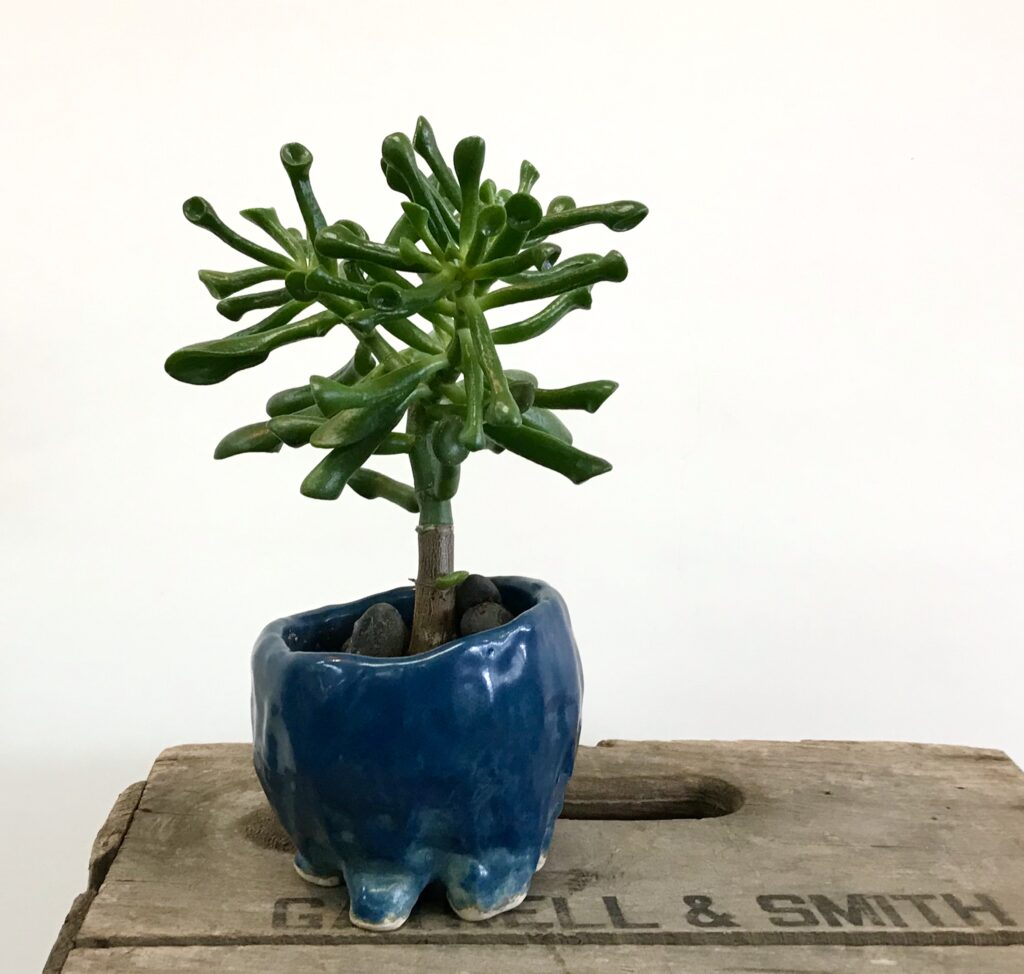 "A Jade Plant ""Monstera"" in a midnight blue hand made stoneware pot available for sale at The Virginia Farmhouse"