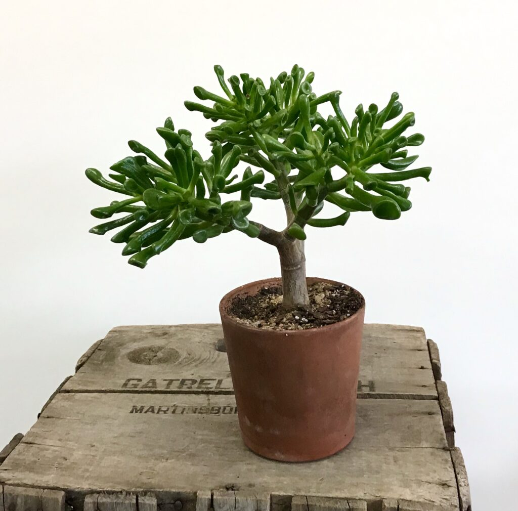 "A Jade Plant ""Monstera"" in a terra cotta pot available for sale at The Virginia Farmhouse"